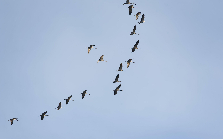 Latvijā putnu gripa vēl 14 savvaļas putniem, Igaunijā – mājputnu novietnē