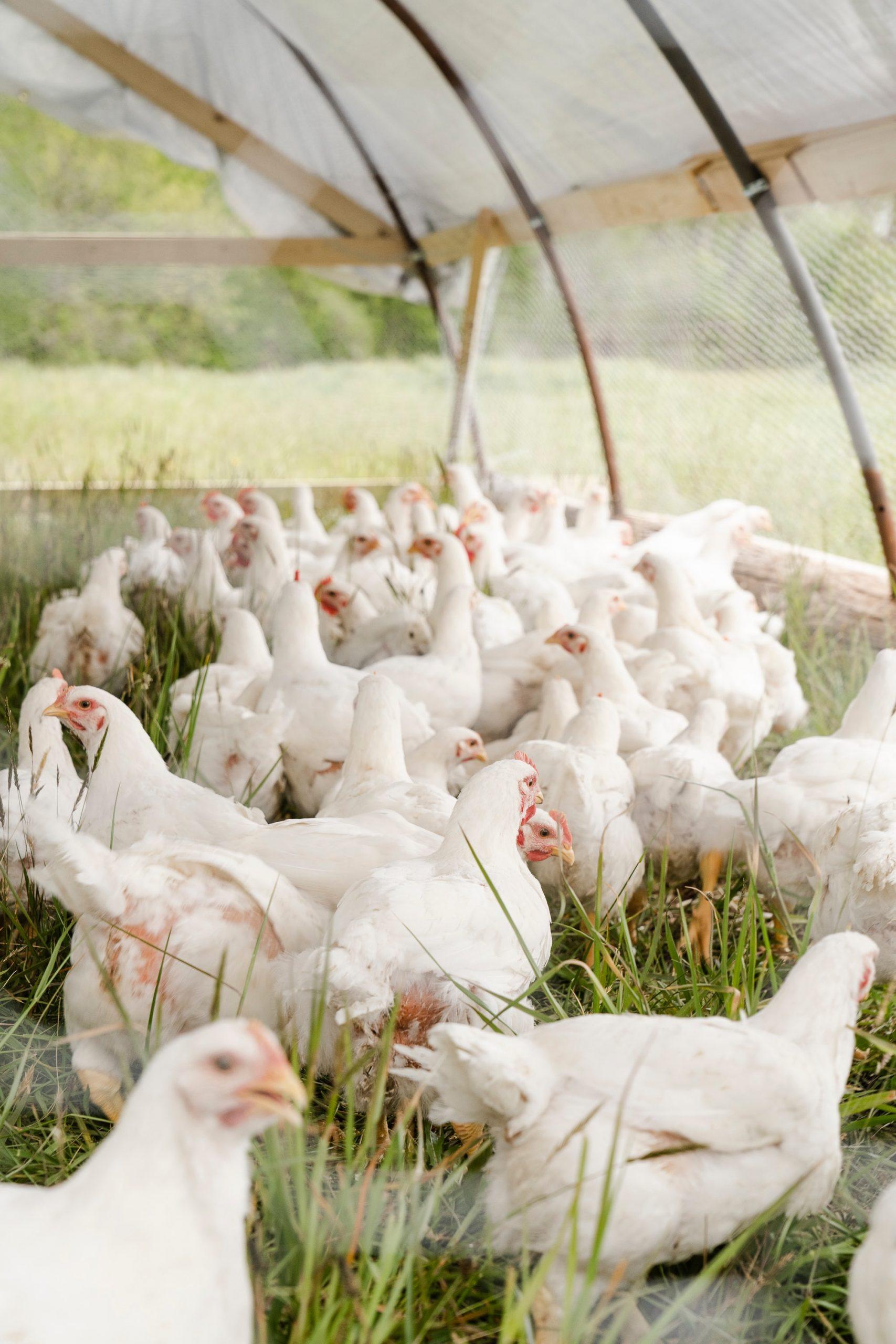 Aicinām piedalīties informatīvos vebināros par un ap putnkopību un citām lopkopības nozarēm