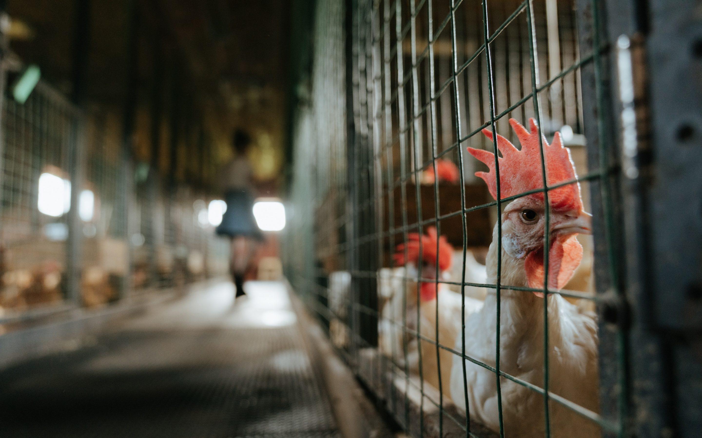 Polijā lielā dējējvistu fermā konstatēta augsti patogēnā putnu gripa