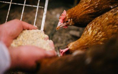 Balticovo Feed piedāvā iegādāties kvalitatīvu putnu barību
