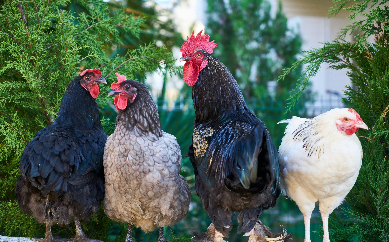 Atbalsts profilaktiskajiem pasākumiem putnkopības nozarē