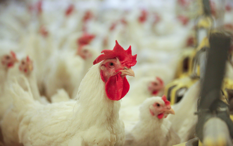 """""""Putnu fabrikas Ķekava"""" vistas ik gadu apēd vidēji 40 000 tonnas graudu"""