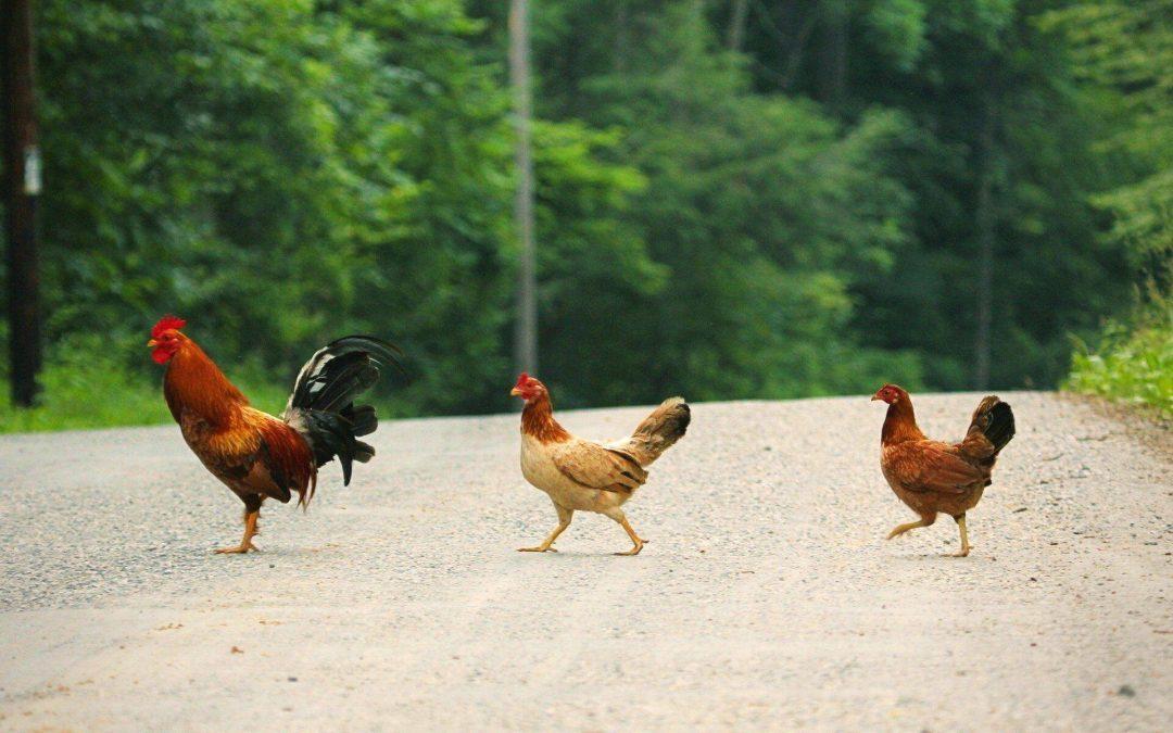 Latvijā strauji paplašinās olu un vistu ražošanas nozare