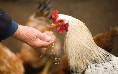 """""""Vista apēd vairāk, nekā maksā ola!"""" Lopbarības cenu pieaugums apdraud putnu audzētājus"""